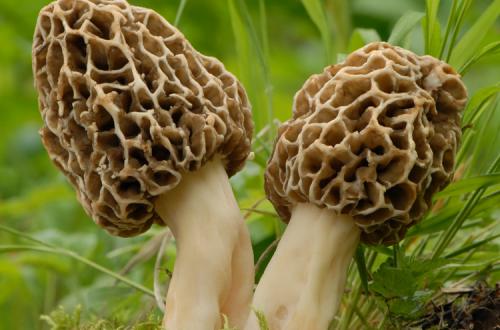 yellow morel mushroom