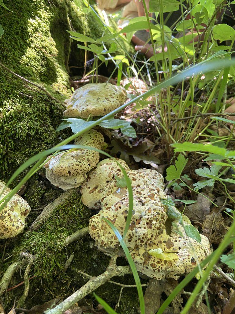 oak bracket mushroom